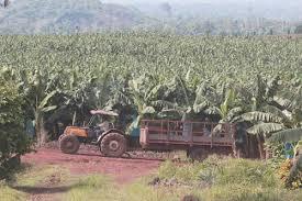Plantations du Haut Penja (PHP) Cameroon