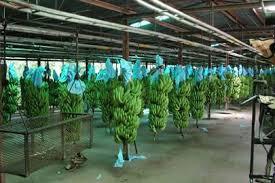 CDC Banana